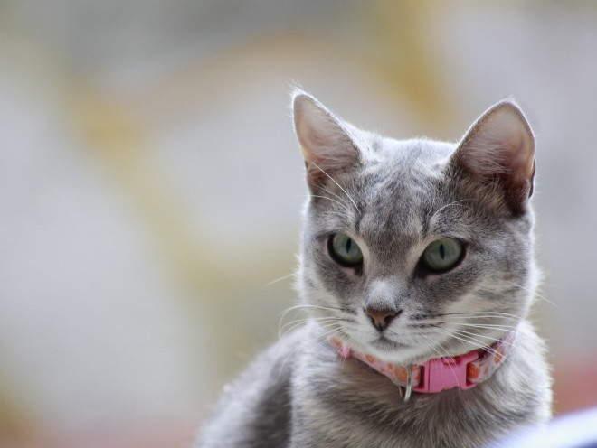 Лимфаденит у кошек: симптомы, диагностика, лечение